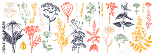 Medicinal herbs collection. Vector set of hand drawn summer florals, herbs, weeds and meadows. Vintage plants illustration. Botanical elements in engraved style. Wild flowers outlines set. #354152918