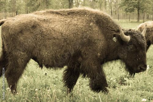 Vászonkép american bison