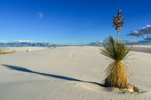 Yucca Plants Growing In White Sands National Monument, New Mexico, USA