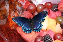 Eastern Tiger Swallowtail Butterfly On Fruit
