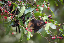 A Spectacled Flying Fox Enjoying Native Small-fruited Figs In Kuranda, Queensland.  A Threatened Species, They Are Often Disliked By Locals, But Are Keystone Pollinators Of The Rainforest.