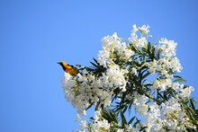 Hooded Oriole Perched On Oleander Bush