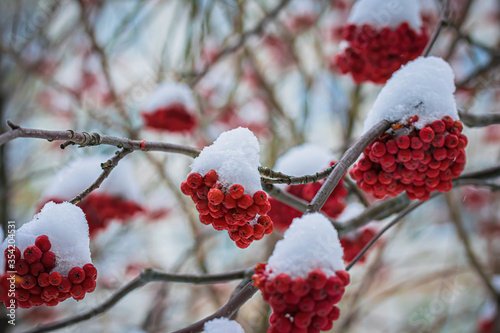 Photo Red berries of mountain ash under the snow.