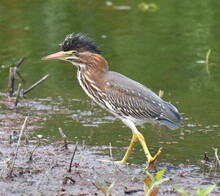 A Young Green Heron (Butorides...