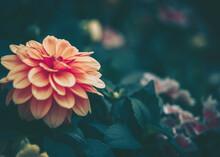 Daisy Chamomile Flowers; Natur...