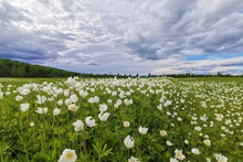Sky With Rain Clouds Over A Green Field With Blooming White Anemone Flowers
