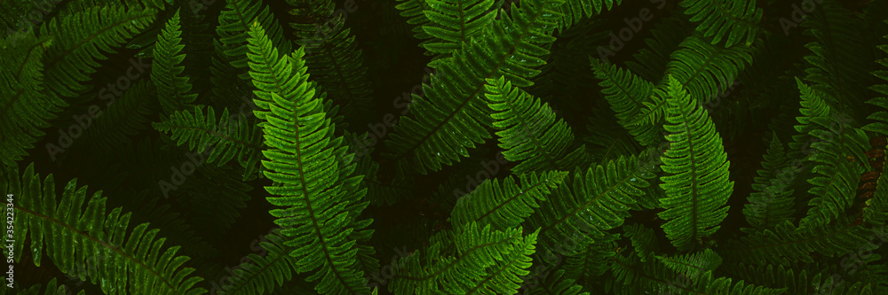 Fototapeta Fern plants. Fern leaf. Green fern leaves in forest. natural texture pattern background. Tropical foliage in jungle.