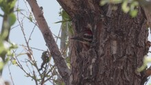 Ladder Backed Woodpecker Flying Out Of Its Hole In A Tree