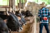 Fototapeta Zwierzęta - Raising wagyu cows at an industrial farming farm. Concept: raising animals or farmers raising cowshed wagyu cows. Industrial farming farm