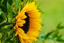 Close Up On Sunflower