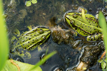 Two Green Frogs Sitting In Sha...