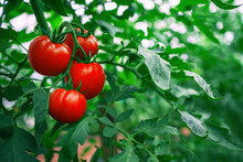 Red Tomatoes In A Greenhouse. ...