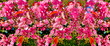 canvas print picture - flowers pink apple blossom red  white petal  flowering tree branch against a blue sky big   banner