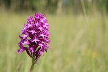 Wilde Orchidee, Fuchsia, Taubergiessen, Pyramiden-Hundswurz (Anacamptis Pyramidalis)