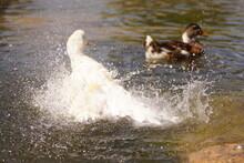 Duck Splashing Water. Duck In ...