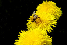 A Bumblebee Sits On A Large Dandelion Flower Three Flowers In Total On A Black Background