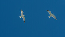 A Couple Of Seagull Is Flying ...