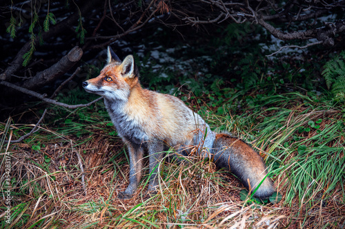 Fotografía Red fox in the forest. Cute wild animal in the woods.