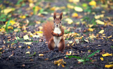 Red Squirrel In The Forest. Ad...