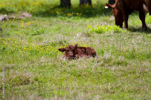 Fotografie, Tablou Calf laying in the grass with cow blurry in the background
