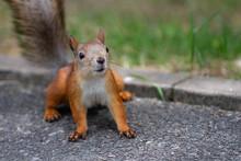 Red Squirrel On The Asphalt Track.