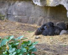 Western Silverback Gorilla Res...