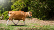 Banteng Or Sapi Bali Also Known As Tembadau, (Bos Javanicus) Is A Species Of Wild Cattle Found In Southeast Asia.