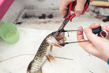 Removing Fishing Hook With Pli...
