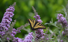 Buddleia (Butterfly Bush) In Bloom With A Swallowtail Butterfly Perched On It.
