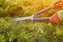 Hands Of Gardener In Orange Gl...