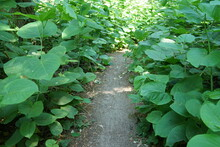 Japanese Knotweed (Reynoutria Japonica) Plants In A Forest In The Netherlands, The Plant Is An Invasive Species.