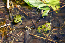 Two Green Frogs In The Water, ...