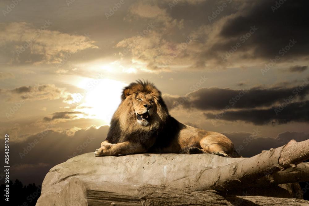 Fototapeta Yawning lion