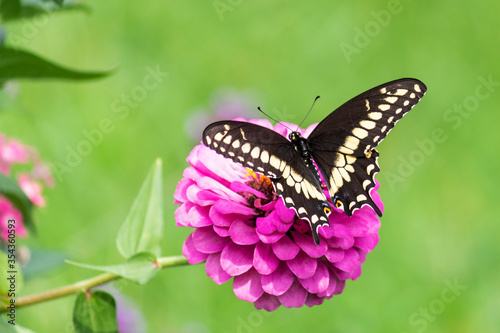Pretty Black Swallowtail Butterfly Pollinating Flowers