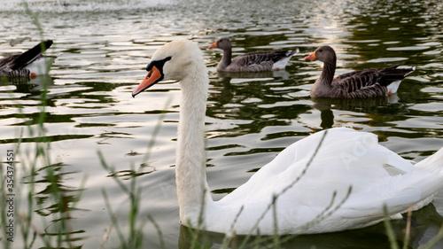 Photo Cisne en el parque