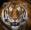 Prideful Alpha Tiger