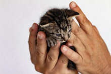 Small Cat Held In The Hands Of A Man. Domestic Animal Baby.