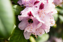 Rhododendron With Bee An Dew