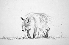 Fox (Vulpes Vulpes) Sketch Image