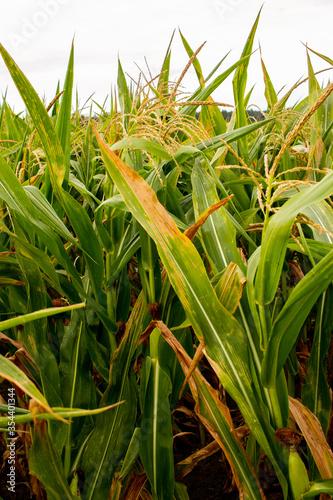 Photo Hojas de maíz de diversos tamaños y con pequeñas espigas