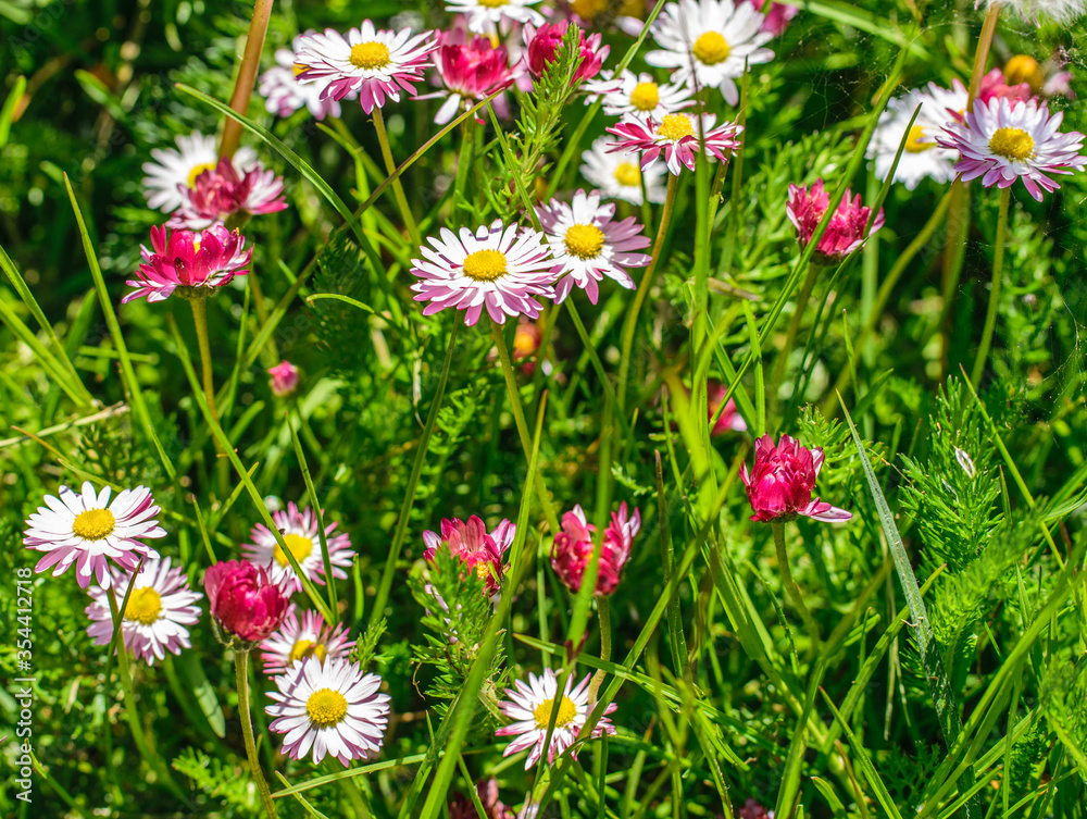 Bright, colorful fragment of a green meadow with blooming daisies.