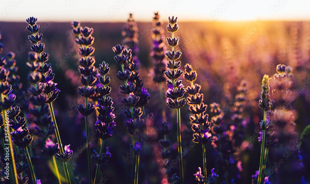 Fototapeta scenery beauty of nature, close up view of blooming lavender flowers
