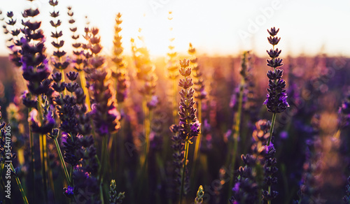 Fototapeta scenery beauty of nature, close up view of blooming lavender flowers obraz