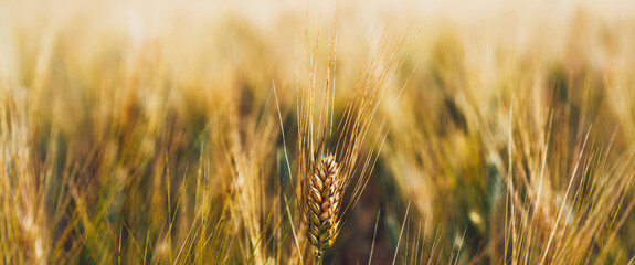 Cereal grain which is a worldwide staple food, Rural Farming agriculture under sunlight