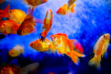 Blood Parrot Cichlid Fish In A...
