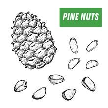 Pine Nuts Hand Drawn Sketch. N...