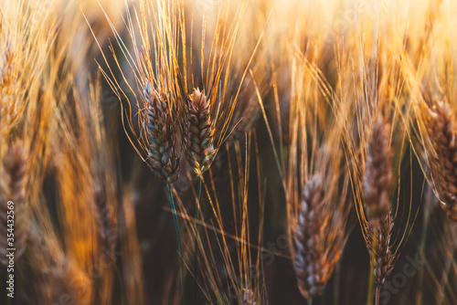 Cereal grain which is a worldwide staple food, Rural Farming agriculture under s Fototapeta