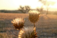 Selective Focus Shot Of Dry Sp...