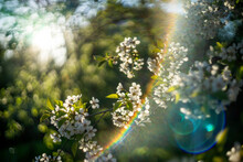 Spring Bloossom Background Of Orchard (garden). Apple And Cherry Trees At Sunny Day Sunset. Beautiful Nature Scene. Artistic Bokeh, Color Rays, Lens Glowing And Flare (glare). Selective Soft Focus.