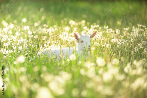 Obraz na plátně portrait of a snow-white goatling that grazes on a green meadow with dandelions